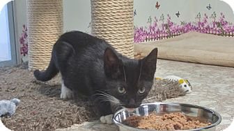 Domestic Shorthair Kitten for adoption in Haddon Twp., New Jersey - Spice