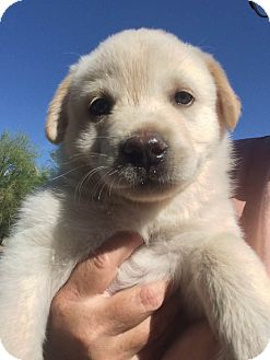 Great Pyrenees/Australian Cattle Dog Mix Puppy for adoption in Cave Creek, Arizona - Harmony
