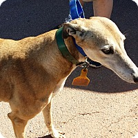 Greyhound Dog for adoption in Oklahoma City, Oklahoma - Jaci Lynn