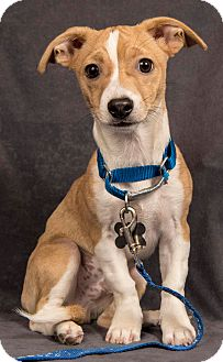 Pit Bull Terrier/Chihuahua Mix Puppy for adoption in Davis, California - Jigsaw (puppy)