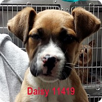Adopt A Pet :: Daisy - baltimore, MD