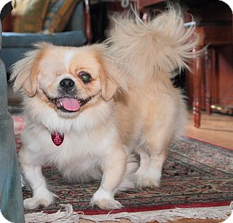 Pekingese Dog for adoption in Richmond, Virginia - Patrick
