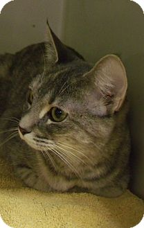 Domestic Shorthair Cat for adoption in Muskegon, Michigan - Charlotte
