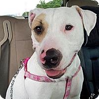 Adopt A Pet :: Scarlett - Orlando, FL