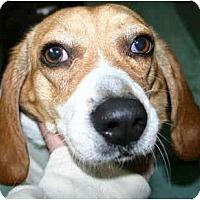 Adopt A Pet :: Pebbles - Portland, OR