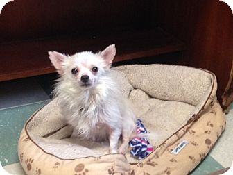 "Chihuahua Dog for adoption in Cleveland, Tennessee - ""Buddy"""