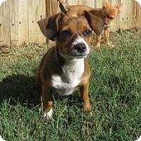 Adopt A Pet :: Dixie - Bedford, TX