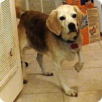 Beagle Dog for adoption in Transfer, Pennsylvania - Buddy II
