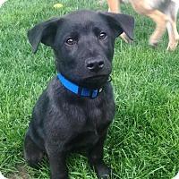 Adopt A Pet :: Bear - rockford, IL
