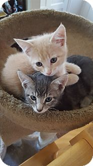 Domestic Shorthair Kitten for adoption in Harbor City, California - Celestial Kittens - Two