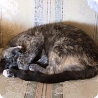 Domestic Shorthair Cat for adoption in Myrtle Beach, South Carolina - Smudge
