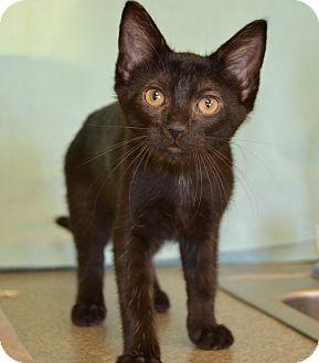 Domestic Shorthair Kitten for adoption in Larned, Kansas - Orchid