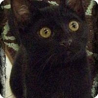 Bombay Kitten for adoption in Anaheim Hills, California - Calypso