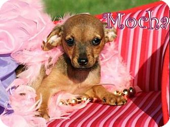 Chihuahua/Rat Terrier Mix Puppy for adoption in Marion, Kentucky - Mocha *Adoption Pending *