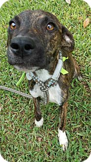 Mountain Cur/Catahoula Leopard Dog Mix Dog for adoption in Olympia, Washington - Emerald