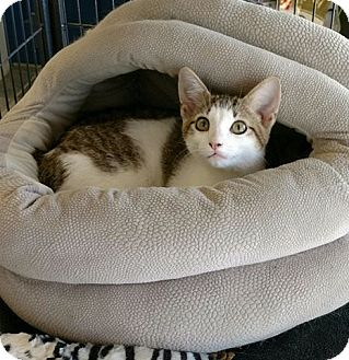 Domestic Shorthair Kitten for adoption in Waldorf, Maryland - Gizmo