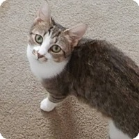 Domestic Shorthair Cat for adoption in Locust, North Carolina - Meeka