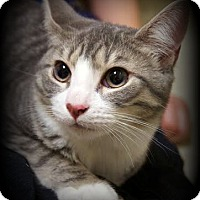 Domestic Shorthair Kitten for adoption in Montclair, New Jersey - Buttercup
