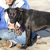 Labrador Retriever Dog for adoption in Freeport, New York - Sasha (Sashami)