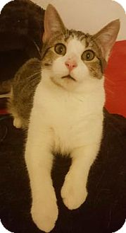 Domestic Shorthair Cat for adoption in Fort Collins, Colorado - Igmu
