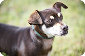 Chihuahua/Miniature Pinscher Mix Dog for adoption in Calgary, Alberta - Herschel