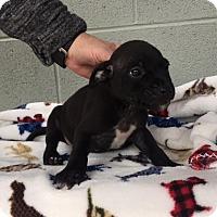 Adopt A Pet :: Captain Morgan - Washington, DC