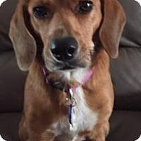 Adopt A Pet :: Rosy - Dallas, TX