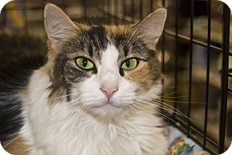 Calico Cat for adoption in New Port Richey, Florida - Fancy