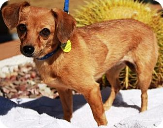 Chihuahua/Dachshund Mix Dog for adoption in Gilbert, Arizona - Cholla