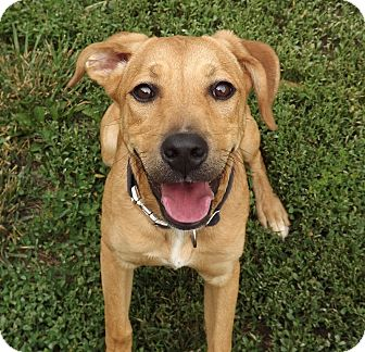 Boxer/German Shepherd Dog Mix Dog for adoption in Fort Riley, Kansas - Sally