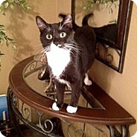 Domestic Shorthair Cat for adoption in Tampa, Florida - Baby Bear