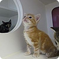 Adopt A Pet :: Sabrina's Kittens - Madison, AL
