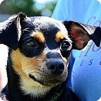 Adopt A Pet :: Cecilia - Rockaway, NJ