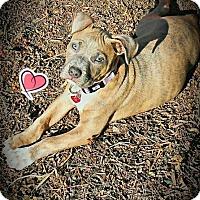 Adopt A Pet :: Iris - San Jose, CA