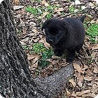 Adopt A Pet :: Hansel - Austin, TX