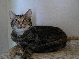 Domestic Mediumhair Cat for adoption in Alvin, Texas - Tessie