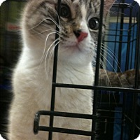 Siamese Kitten for adoption in Madisonville, Louisiana - Sweetie