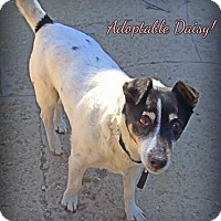Adopt A Pet :: Daisy - Loveland, CO