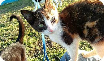 Calico Cat for adoption in Camilla, Georgia - Jaslene