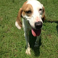 Hound (Unknown Type) Mix Dog for adoption in Summerville, South Carolina - Honey