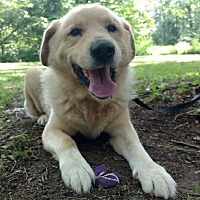 Labrador Retriever/Golden Retriever Mix Dog for adoption in Capon Bridge, West Virginia - Jake Green