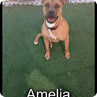 Adopt A Pet :: Amelia-LOCAL - Lebanon, ME