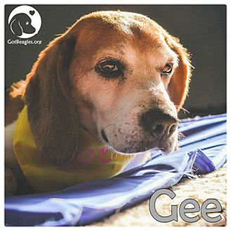 Beagle Dog for adoption in Chicago, Illinois - Gee