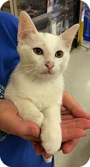 Domestic Shorthair Cat for adoption in Fort Worth, Texas - Manhattan--COURTESY LISTING