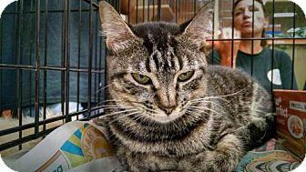 Domestic Shorthair Cat for adoption in Pembroke, Georgia - *Sylvi