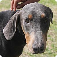 Adopt A Pet :: Poseidon - Waco, TX