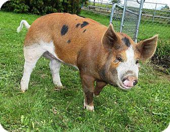 Pig (Farm) for adoption in Bellingham, Washington - Ruby