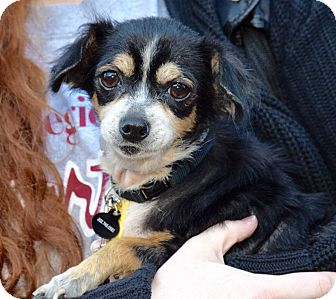 Chihuahua Mix Dog for adoption in New York, New York - Marti