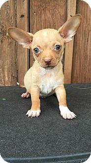 Dachshund Mix Puppy for adoption in Weston, Florida - Spartan