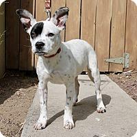 Adopt A Pet :: Shortcake - Los Angeles, CA